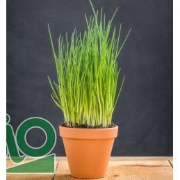 Plant de ciboulette A repiquer