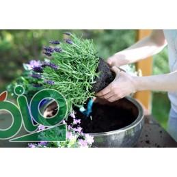 Plant de lavande A repiquer