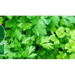 Plant de persil plat A...
