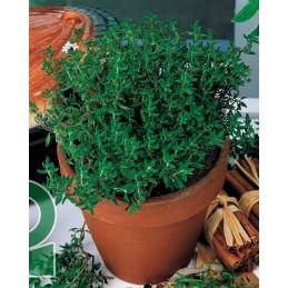 Plant de thym A repiquer