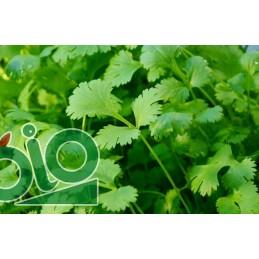 Plant de  basilic A repiquer